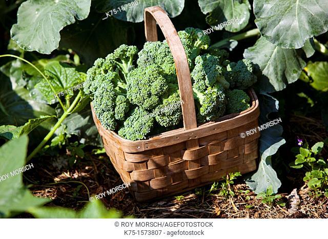 Basket of fresh, organic broccoli in a garden