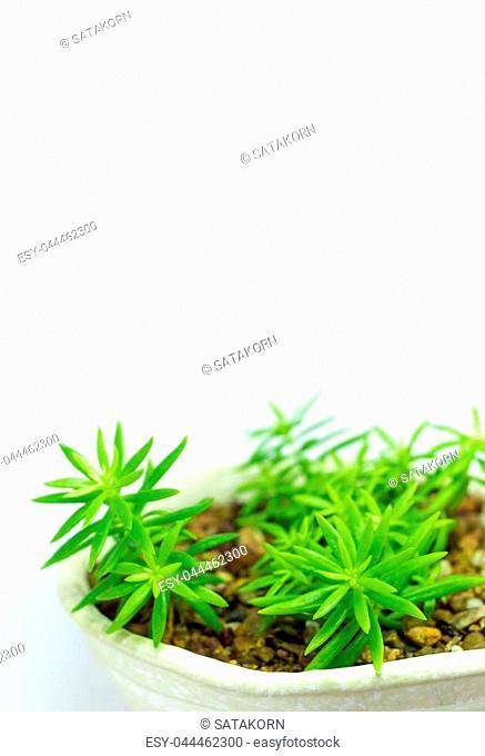 Succulent plant corsican stonecrop, sedum, freshness leaves of sedum reflexum Angelina grow in the ceramic pot