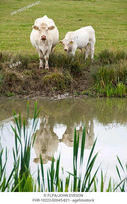 Domestic Cattle, Charolais cow and calf, standing at edge of lake, Middle Claydon, Buckinghamshire, England, august