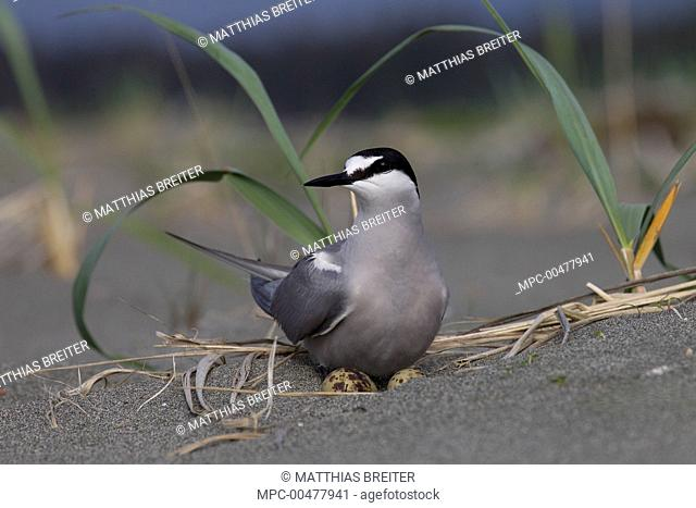 Aleutian Tern (Onychoprion aleuticus) on ground nest with single egg, Yakutat, Alaska