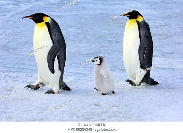 Emperor Penguin (Aptenodytes forsteri) parents walking with chick, Snow Hill Island, Antarctica