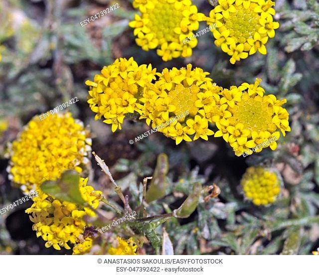 Flowers of Anthemis rigida, Crete