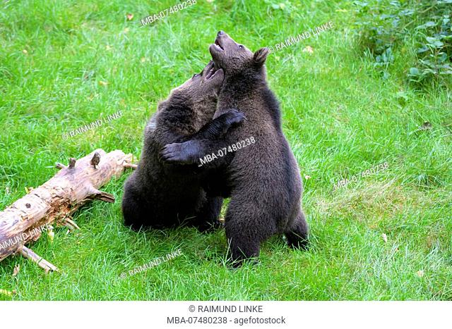 European Brown Bears, Ursus arctos, Two cubs fighting, Bavaria, Germany