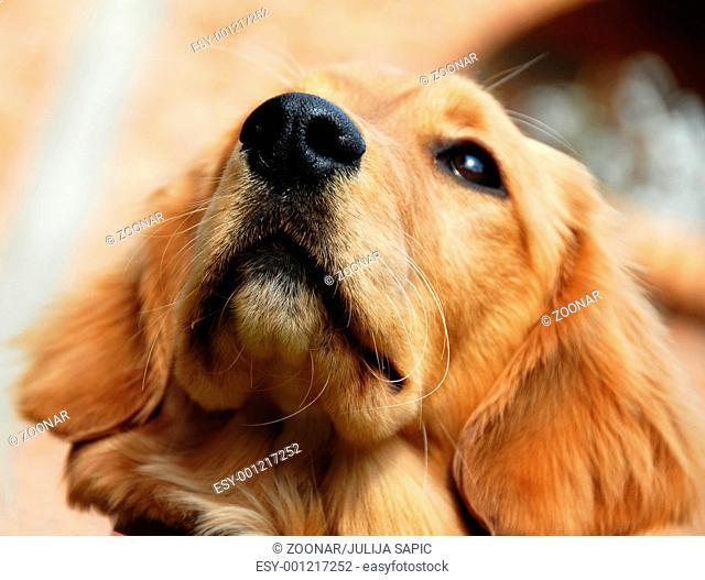 Golden retriever nose