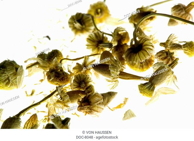 Dried chamomile blossoms on white chamomile subsoil
