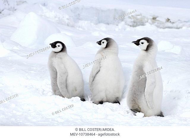 Emperor Penguin - Chicks (Aptenodytes forsteri)