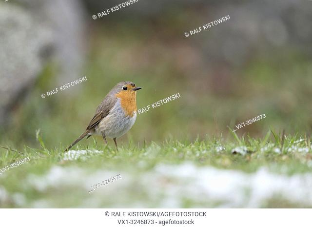 Robin Redbreast / Rotkehlchen ( Erithacus rubecula ) from a low point of view, standing in grass with rests of snow