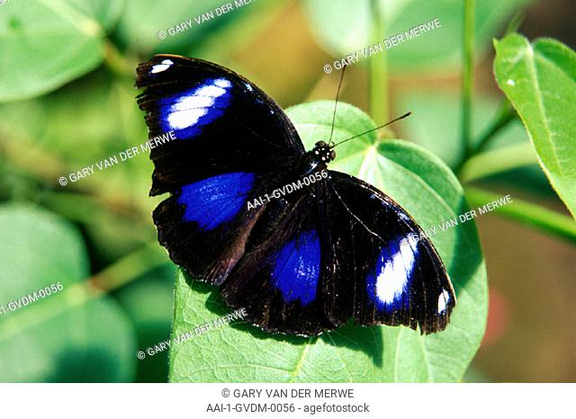 Eggfly butterfly, South Africa