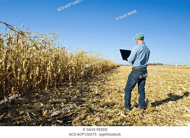 a man with a computer examines a harvest ready grain/feed corn field near Niverville, Manitoba, Canada