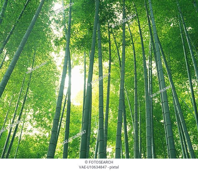 a Bunch of Bamboo Trees, Lined Up Next to Each Other With the Sun Shining Through, Low Angle View