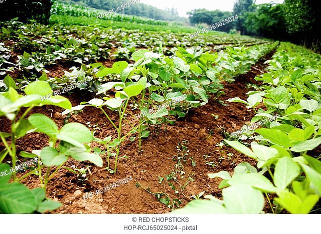 Potato crop in a field, Zhigou, Shandong Province, China