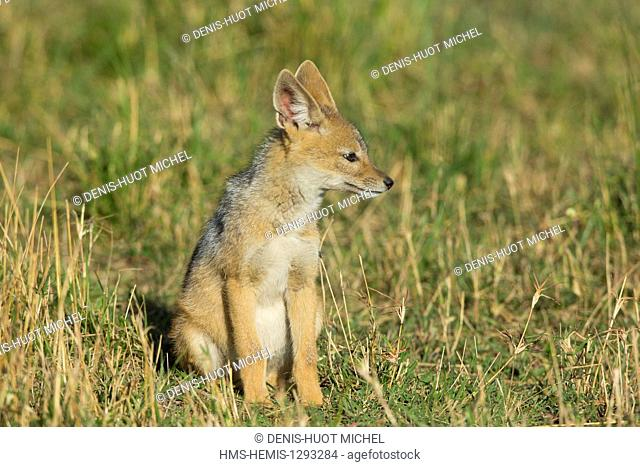 Kenya, Masai Mara national reserve, black-backed jackal (Canis mesomelas), young