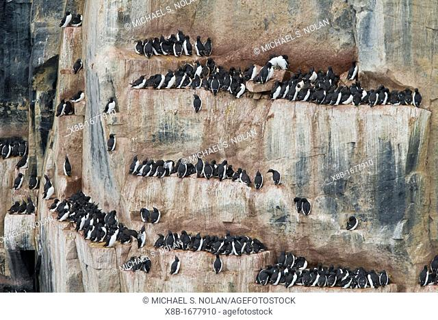 Brünnich's guillemot Uria lomvia breeding and nesting site at Cape Fanshawe in the Svalbard Archipelago, Barents Sea, Norway