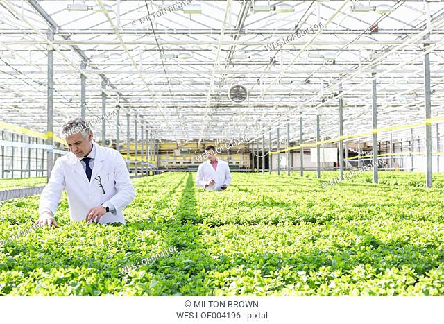 Two scientists in greenhouse examining basil plants