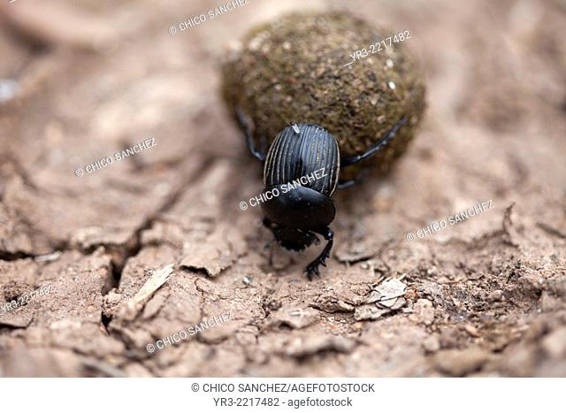 A black dung beetle carries a rolling ball in Prado del Rey, Cadiz province, Andalusia, Spain