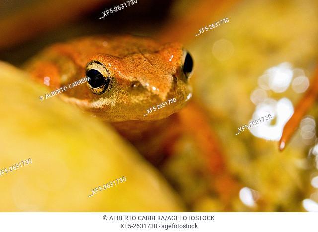 Iberian Frog, Rana iberica, Rana Patilarga, Valsain Forest, Guadarrama National Park, Segovia, Castilla y León, Spain, Europe