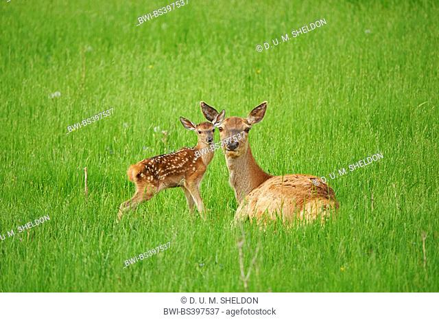 red deer (Cervus elaphus), mother with her calf on a meadow, Germany, Bavaria
