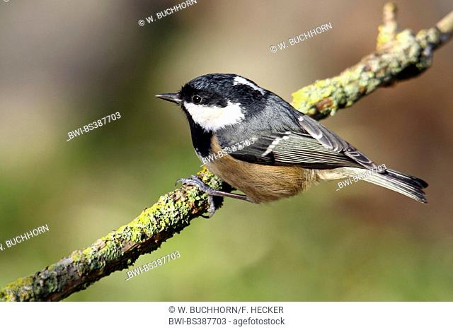 Coal tit (Periparus ater, Parus ater), sitting on a covered with lichens branch, Germany