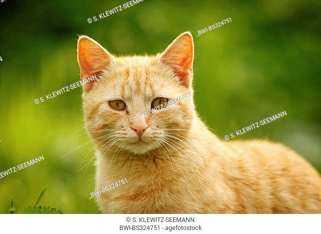 domestic cat, house cat (Felis silvestris f. catus), looking into camera, Germany
