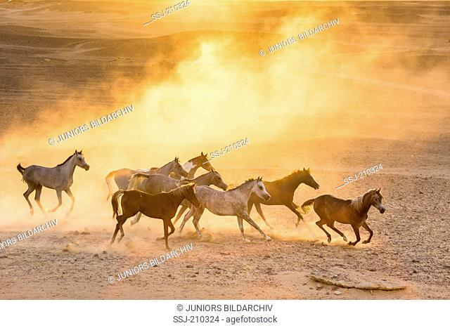 Arabian Horse. Herd galloping in the desert in evening light. Egypt