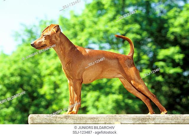 brown Miniature Pinscher - standing