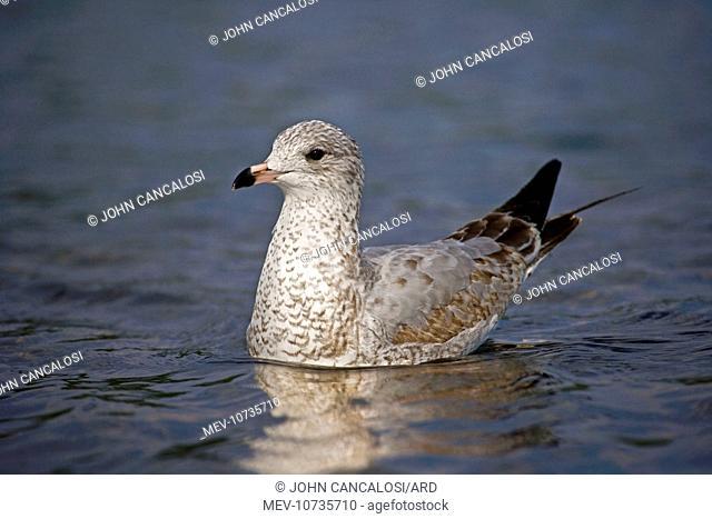 Ring-billed Gull Juvenile - on lake (Larus delawarensis)