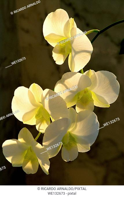 White Dendrobium backlit
