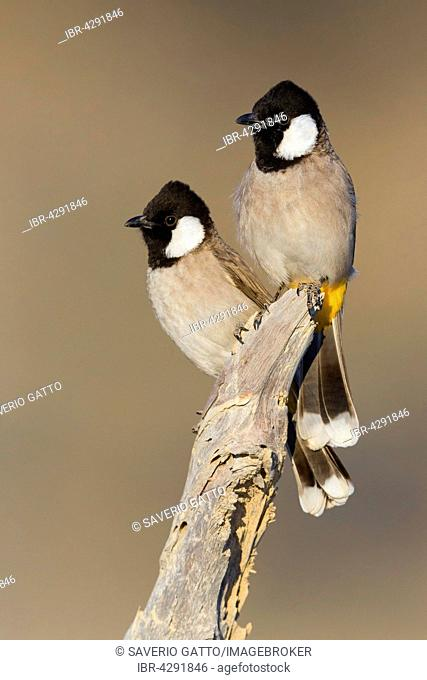 White-eared Bulbul (Pycnonotus leucotis), pair perched on a dead tree, Khatmat Milalah, Al Batinah, Oman