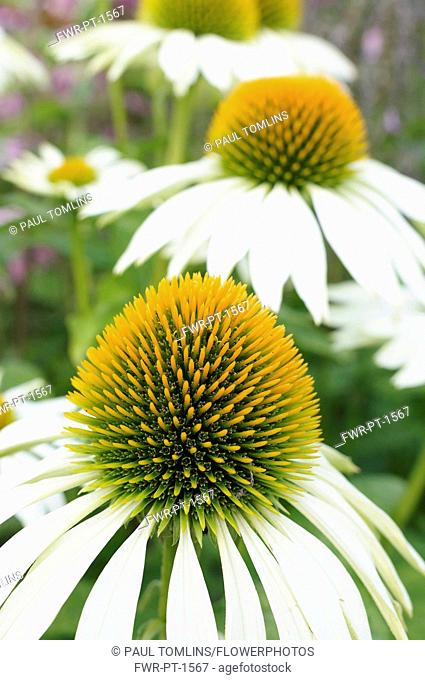 Echinacea, Purple Coneflower, Echinacea purpurea 'Green Edge', Close up showing the spiky texture