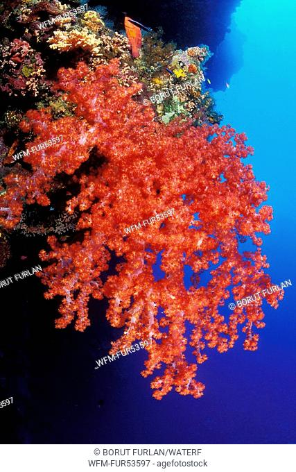 Soft Corals of Tubbataha Reef, Dendronephthya sp., South Atoll, Sulu Sea, Philippines