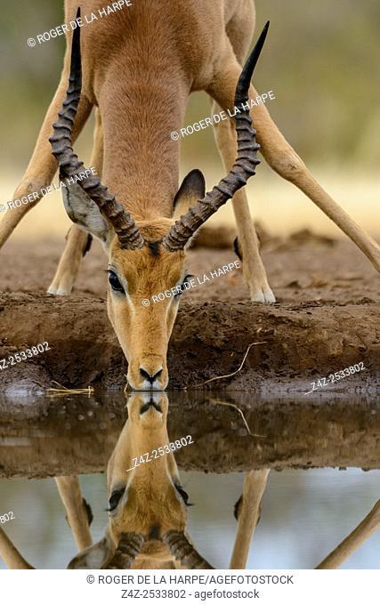 Impala (Aepyceros melampus) male drinking. Mashatu Game Reserve. Northern Tuli Game Reserve. Botswana
