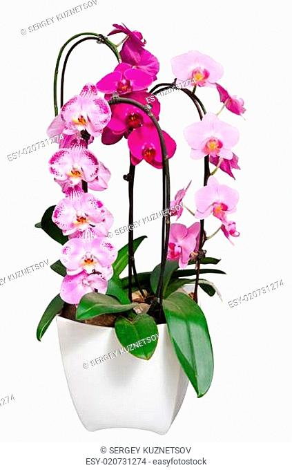 Living lilac orchids flowers in flowerpot isolated on white