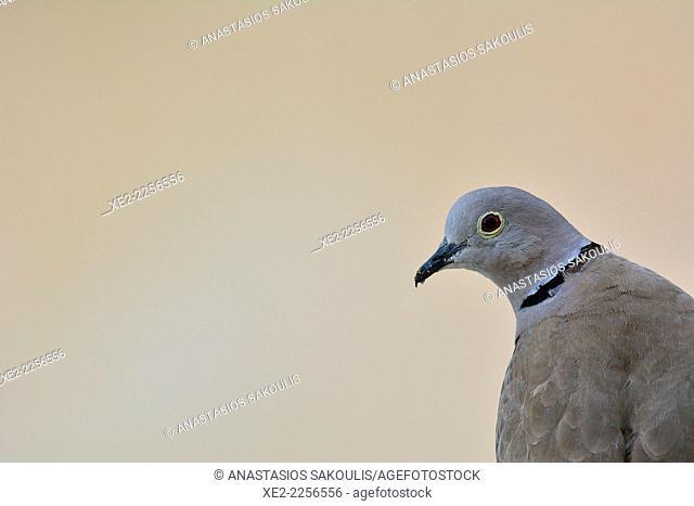 Collared Dove Streptopelia decaocto, Crete