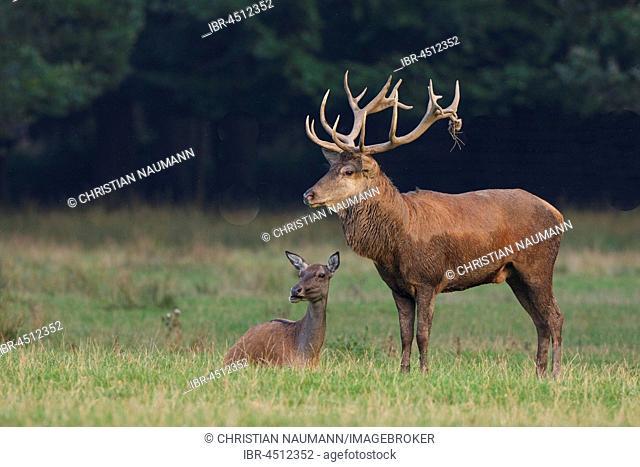 Red deer (Cervus elaphus) with doe, Hesse, Germany