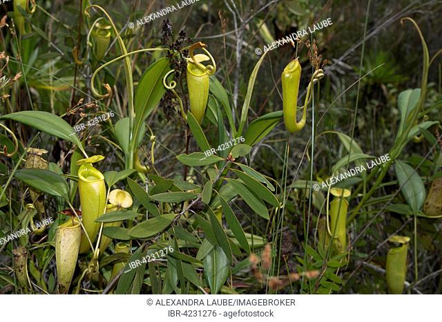 Pitcher plants (Nepenthes madagascariensis) in swamp, east coast, Madagascar