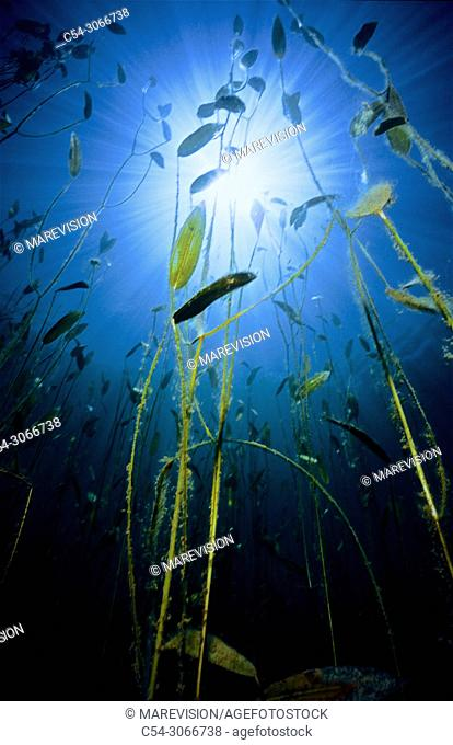 Freshwater plants. Floating pondweed (Potamogeton natans). Lake. Lago del Valle. Lagos de Somiedo. Asturias. Spain. Europe