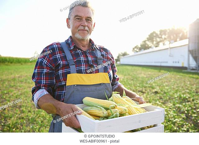 Farmer holding a full crate of corn cobs on the field