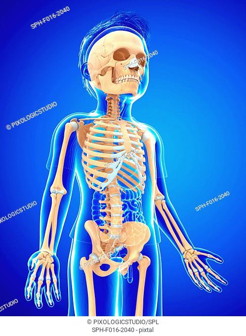 Child's skeletal system, illustration
