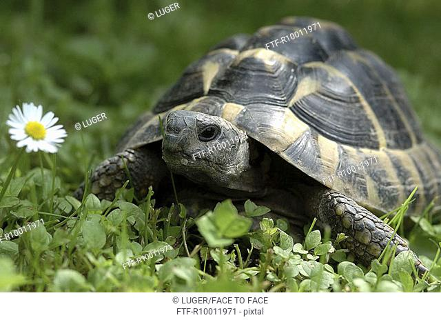 Turtle on a grassland with daisies