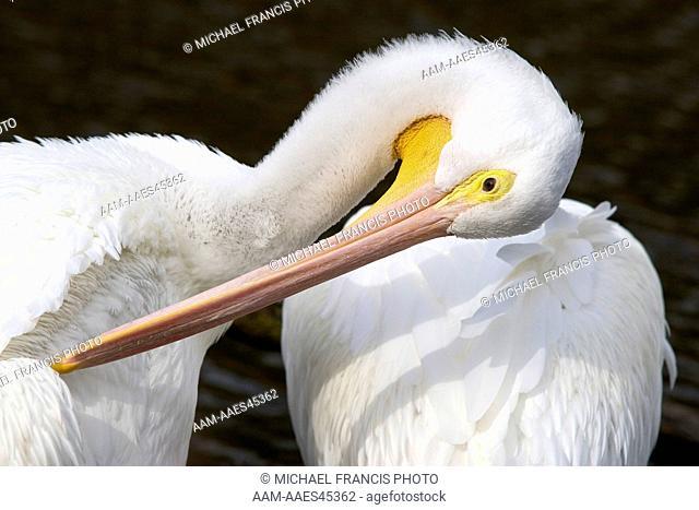 American White Pelican (Pelecanus erthrorhynchos), adult portrait preening, Wildlife Safari, Nebraska