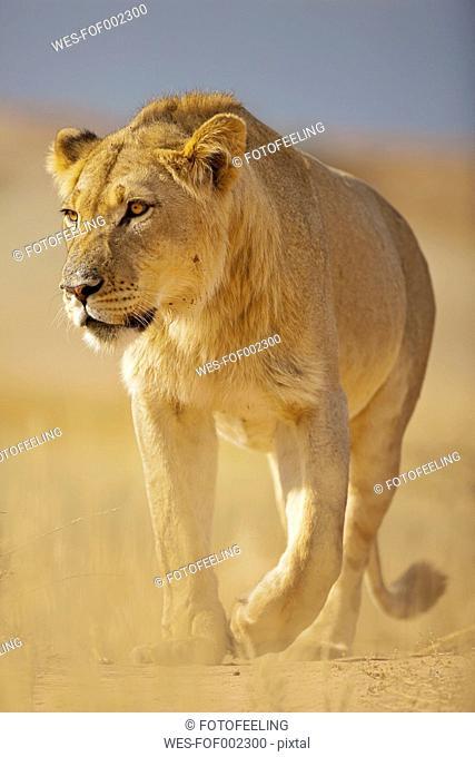 Africa, Botswana, South Africa, Kalahari, Lion in Kgalagadi Transfrontier Park