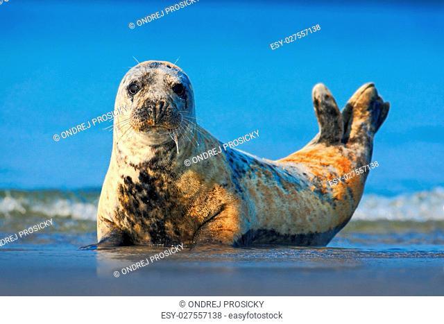 Grey Seal, Halichoerus grypus, detail portrait in the blue water