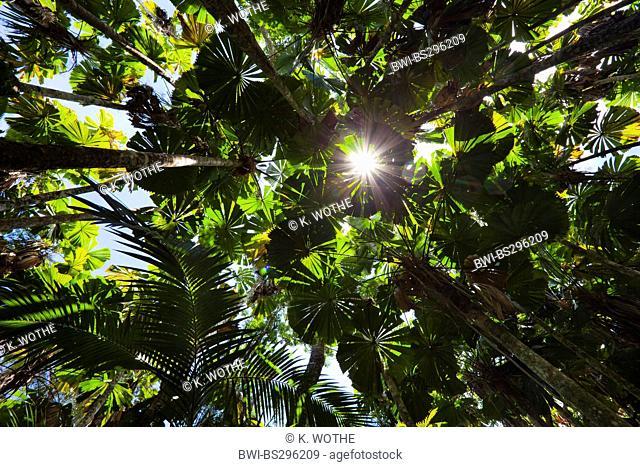 Red latan palm, Australian Fan Palm (Licuala ramsayi), Fan Palms in rainforest, Australia, Queensland, Daintree National Park