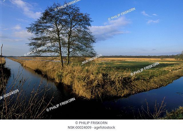 Common Alder (Alnus glutinosa) on marsh in winter, The Netherlands, Overijssel, National Park Weerribben-Wieden