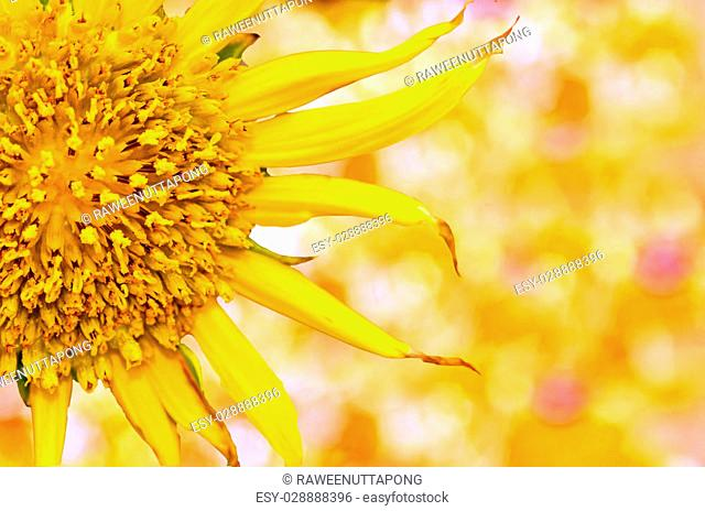sunflowers close up on yellow nature background