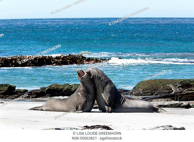 Elephant Seal (Mirounga leonina) young displaying and fighting for dominance on beach, Falkland Islands, Sea Lion Island