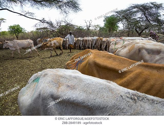 Cows suffering from the drought grouped in fences to be fed by the governement, Oromia, Yabelo, Ethiopia