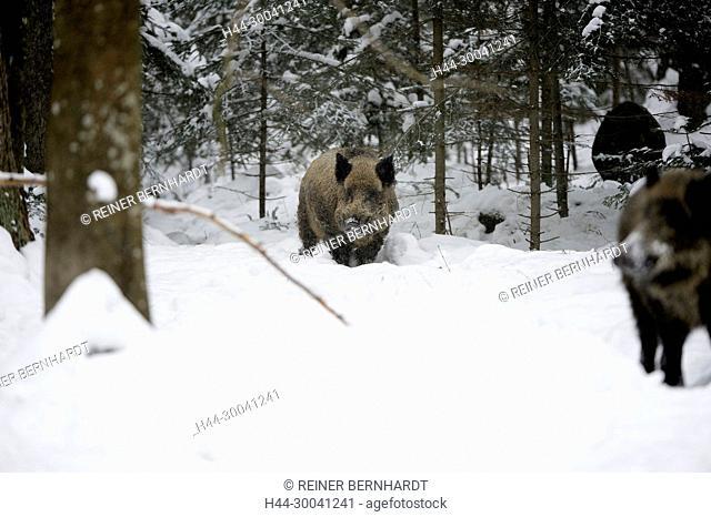 Wild boar, Sus scrofa scrofa, sow, making a mess, wild boars, black game, black smock, cloven-hoofed animal, pigs, pig, vertebrates, mammals, real pigs, Suckel
