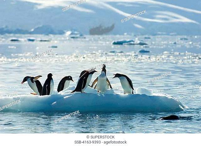 ANTARCTICA, ANTARCTIC PENINSULA, NEKO HARBOR, GENTOO PENGUINS ON SMALL ICEBERG