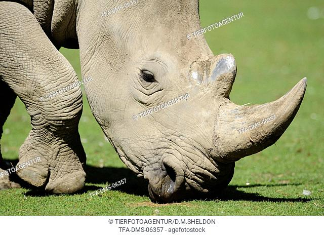 square-lipped rhino